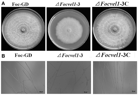 Frontiers | FocVel1 influences asexual production, filamentous growth, biofilm formation, and virulence in Fusarium oxysporum f. sp. cucumerinum | Plant-Microbe Interaction | Fusarium and wheat | Scoop.it