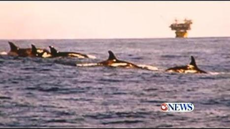 Marine Expert on Orca Population in the Gulf of Mexico - KIII TV3 | Honor the Orcas, Dive in! | Scoop.it