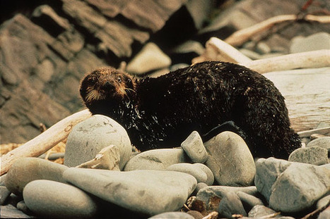 Twenty years later: Have ecosystems recovered from Exxon Valdez? | JWK Geography | Scoop.it