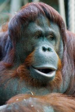 Research suggests great apes are capable of calculating the odds before taking risks | This Gives Me Hope | Scoop.it