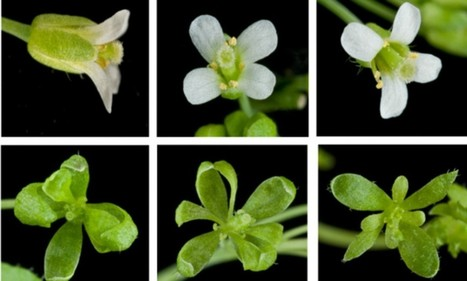 JIC mention: Parasite hijacks plants' reproductive system to turn them into ZOMBIES | BIOSCIENCE NEWS | Scoop.it