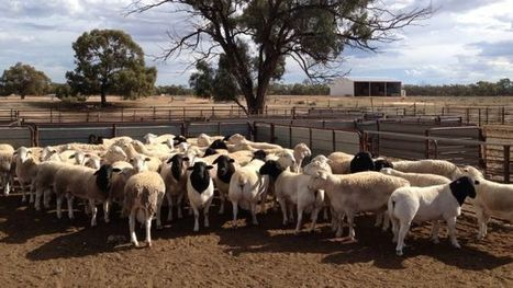 Dorpers do better than merinos on NSW rangelands | Rangeland Scoops | Scoop.it