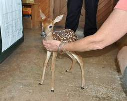 Oklahoma tornadoes: Oklahoma City police officer rescues fawn   Miscellany   Scoop.it