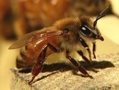 Bees Buzz Each Other through Changes in the Electric Field Surrounding Them | Amazing Science | Scoop.it
