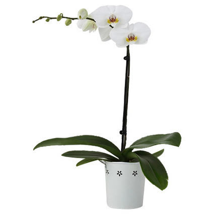 Single Spike White Orchid By Green Thumb Gifts | Plants Online | Scoop.it