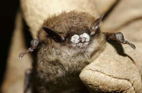 Once plentiful, northeastern bats now threatened by mysterious white-nose syndrome - Phys.Org | Bat Biology and Ecology | Scoop.it