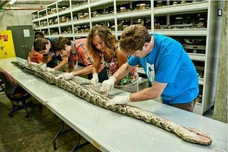 Burmese pythons are dominating the Everglades | Indigenous | Scoop.it