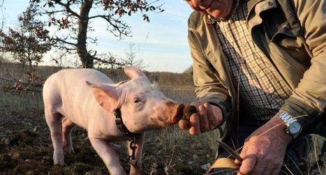 Un week-end truffe,  cavage et cuisine | La truffe dans tous ses états | Scoop.it