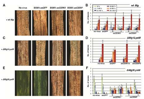 Mycosphaerella graminicola LysM Effector-Mediated Stealth Pathogenesis Subverts Recognition Through Both CERK1 and CEBiP Homologues in Wheat | Chitin induced PTI in Wheat | Scoop.it