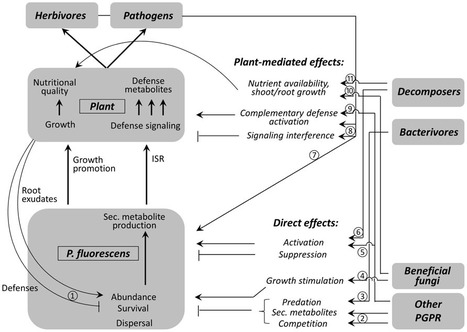 Getting the ecology into interactions between plants and the plant growth-promoting bacterium Pseudomonas fluorescens | Plant microbe interactions | Scoop.it