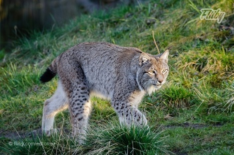 Lynx On The Prowl | Just For Fun | Scoop.it