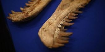 Le fossile d'un dinosaure à cornes découvert aux Etats-Unis   Aux origines   Scoop.it