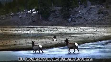 Comment les loups changent les rivières   Shabba's news   Scoop.it