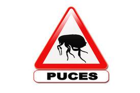 Piqûres de puce - Symptômes, traitement et prévention | Insect Archive | Scoop.it