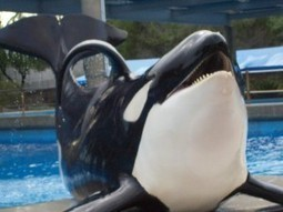 Orca Profiles in Captivity: No. 5 of The San Diego 10 - OB Rag   #OrcaAvengers   Scoop.it