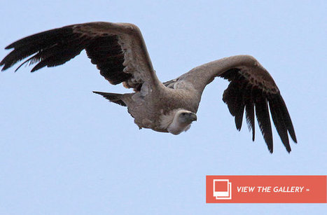 Elephant Poachers Poison Vultures to Thwart Cops | Corinne | Scoop.it