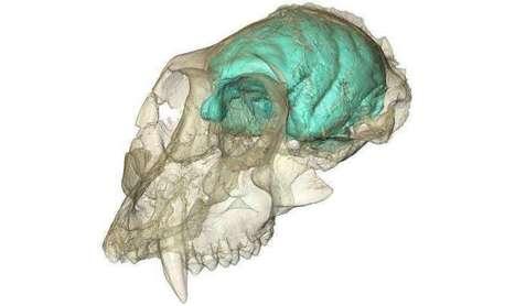 Old World monkey had tiny, complex brain | Social Neuroscience Advances | Scoop.it