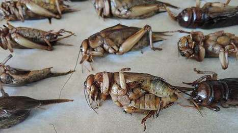 Crickets aren't the miracle source of protein | Entomophagy: Edible Insects and the Future of Food | Scoop.it