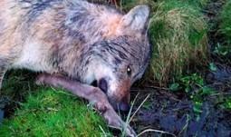 Chasseur ayant abattu un loup en Allemagne : responsable, mais pas coupable | FERUS | ¨¨Qui est le plus sauvage?¨¨ | Scoop.it