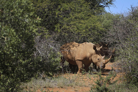 South Africa Pricing Fence Between Mozambique and Hunted Rhinos | What's Happening to Africa's Rhino? | Scoop.it