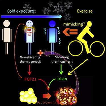 Shivering unlocks new way of fighting obesity | Amazing Science | Scoop.it