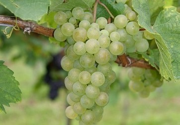 World 'mother' grape saved from brink of extinction | Food Trends & News | Scoop.it