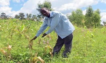 "Project makes significant progress to save maize from the ""violet vampire"" in western Kenya 