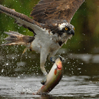 Thomson Ecology: News - Osprey image wins top spot in wildlife photography competition | Non Humans (Animals) | Scoop.it