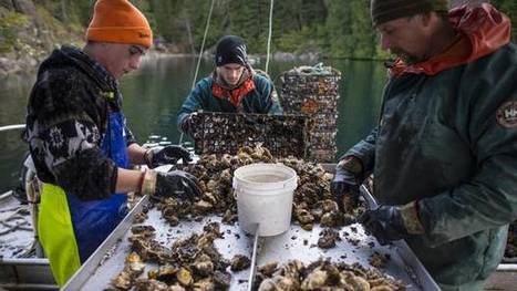 British Columbia's oyster sector focuses on protocol, safety | Aquaculture Directory | Scoop.it