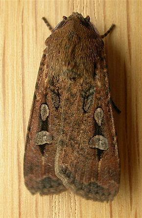 Australie : le Parlement envahi par des papillons de nuit | EntomoNews | Scoop.it