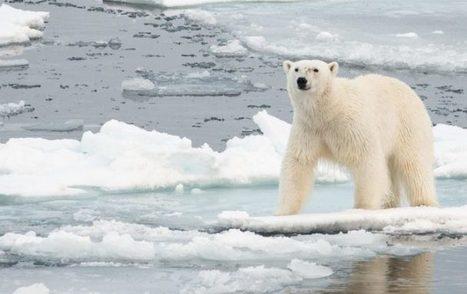 Fonte de la banquise : la survie des ours menacée dans tout l'Arctique | Biodiversité & Relations Homme - Nature - Environnement : Un Scoop.it du Muséum de Toulouse | Scoop.it