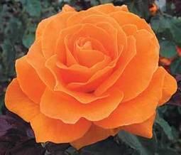 Weeks Roses - Garden Grandeur   Annie Haven   Haven Brand   Scoop.it