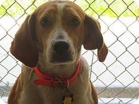 Glen St Mary, FL - Foxhound Mix. Meet Jake a Dog for Adoption.   Baker County, Florida   Scoop.it