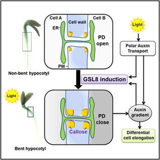 Developmental Cell - Auxin-Callose-Mediated Plasmodesmal Gating Is Essential for Tropic Auxin Gradient Formation and Signaling | Rhizosphere interactions | Scoop.it