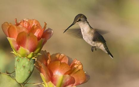 Mangnificent Hamming Bird Flowers Download Hd Pictures « Pin HD Wallpapers | Flowers Wallpapers | Scoop.it