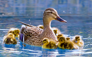 Bewitching Duckling Rescue Will Give You Goose Bumps | This Gives Me Hope | Scoop.it