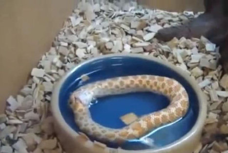 Crazy Snake Eats Itself - Insane Video | Nature and Travel | Scoop.it