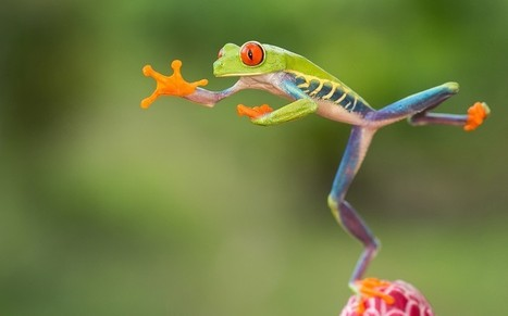 In pictures: Jumping red-eyed tree frogs of Costa Rica by Nicolas Reusens - Telegraph | 100 Acre Wood | Scoop.it
