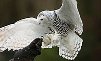Snowy Owl Invasion Puzzles Scientists, Dazzles Enthusiasts   Vloasis vlogging   Scoop.it