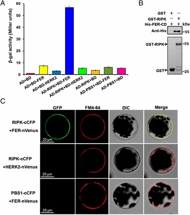 Receptor kinase complex transmits RALF peptide signal to inhibit root growth in Arabidopsis | Plant roots and rhizosphere | Scoop.it