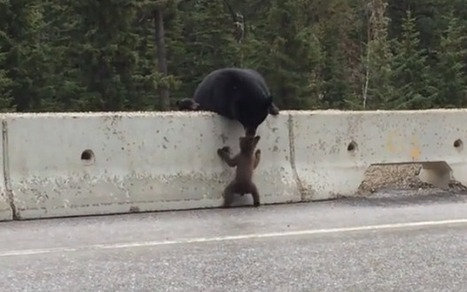 Mother bear rescues cub from busy road - Telegraph | Imaging | Scoop.it
