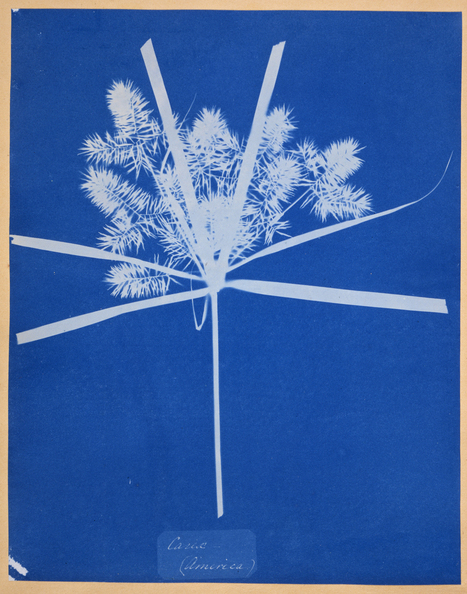 Anna Atkins, British, 1799 &ndash; 1871<br/>Carix (America) | Photography Now | Scoop.it