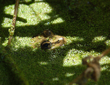 #Deformed #Frog Hotspots Found in Central Valley #Wildlife Refuges ~ informative article. | Rescue our Ocean's & it's species from Man's Pollution! | Scoop.it