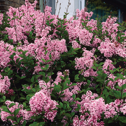 Josee Reblooming Lilac Collection | Springhill Nursery | Scoop.it