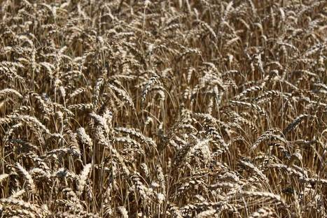 Livestock producers look to wheat to lower feed costs | Grain Storage Trends and Innovations Worldwide | Scoop.it