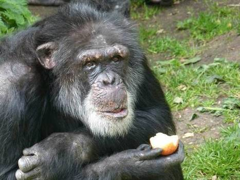 Listen to Dutch chimpanzees speaking in Scottish accent: 'first evidence' of ... - The Independent | Animals R Us | Scoop.it