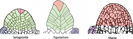 The evolution of the shoot apical meristem from a gene expression perspective   Plant Biology Teaching Resources (Higher Education)   Scoop.it
