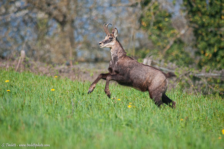 CHAMOIS | Steve Troletti Nature and Wildlife Photographer | Scoop.it