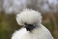 Silkie hen | Hen Breeds | Scoop.it