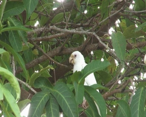 Mystery of Seychelles' 'white' black parrot | All Things Zygodactyl | Scoop.it